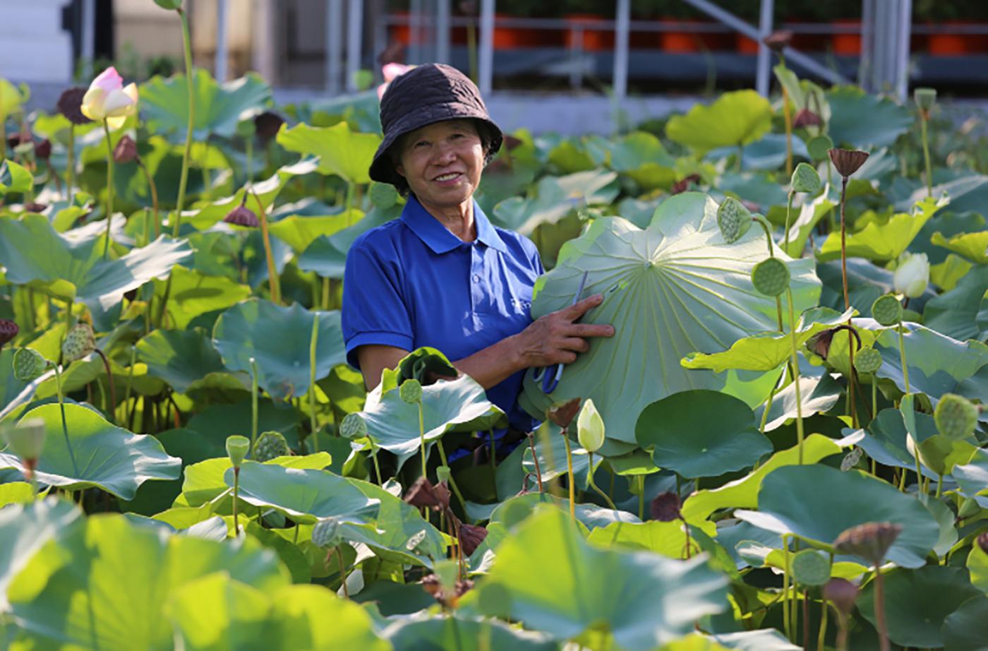 국산 무농약 생 연잎 (30장) 상세이미지1