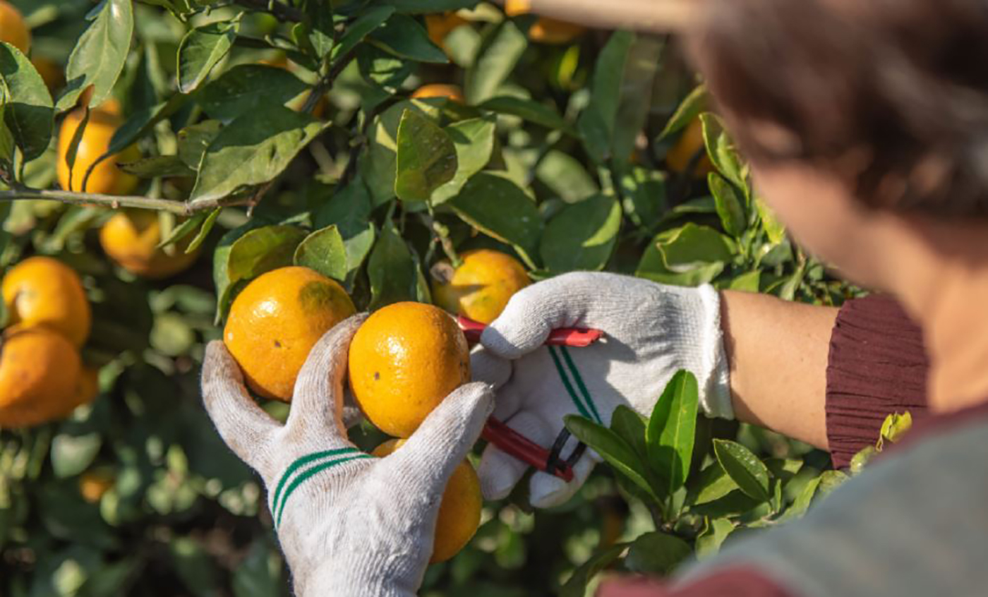 제주 극조생감귤 5kg/농림축산식품부 인증! 10월~2월에만 맛볼 수 있는 제주 감귤 상세이미지1