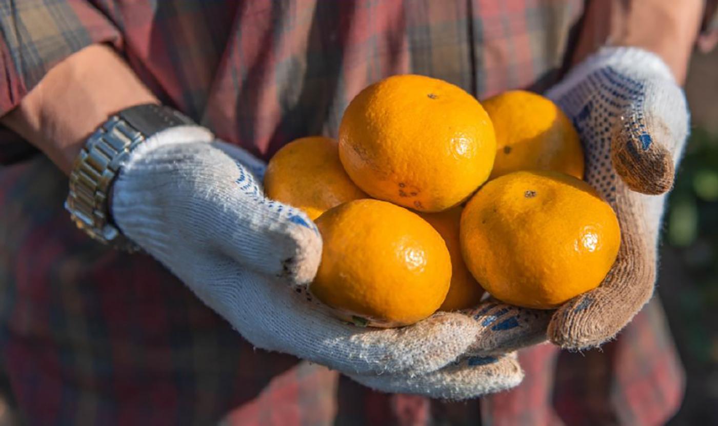 제주 극조생감귤 5kg/농림축산식품부 인증! 10월~2월에만 맛볼 수 있는 제주 감귤 상세이미지5