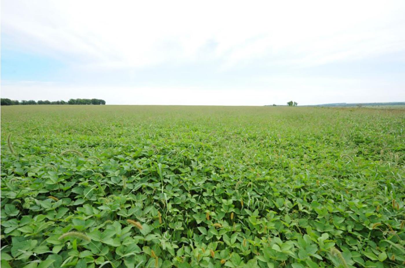 NON-GMO 압착 콩기름/연해주 농장 고려인이 키운 순수 NON-GMO 압착 콩기름(420ml)  상세이미지4